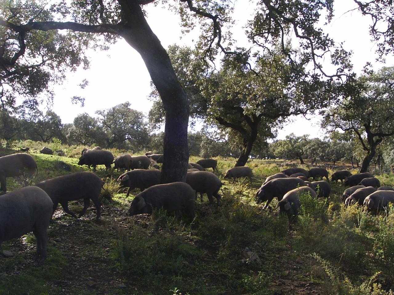 Dehesa en Campofrío (Huelva)